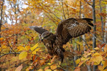 merlin falcon: Hawk in the autumn forest Stock Photo
