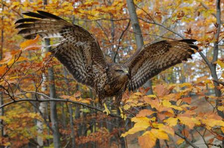 merlin falcon: The hawk on a branch