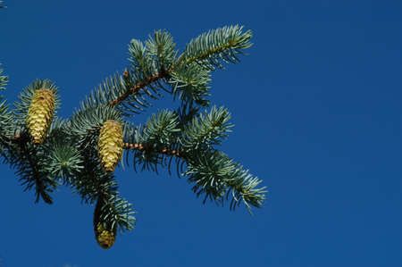 christmas tree branch: The branch of a Christmas tree Stock Photo