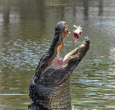 cold blooded: Alligator\\