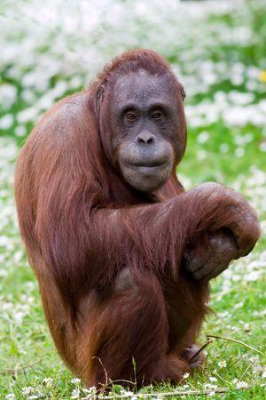 hominid: Orangutan ritratto. Archivio Fotografico