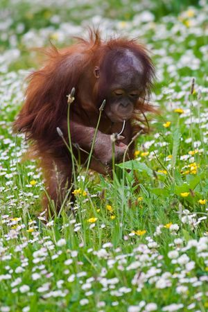 Young  orangutan playing in the grass. photo