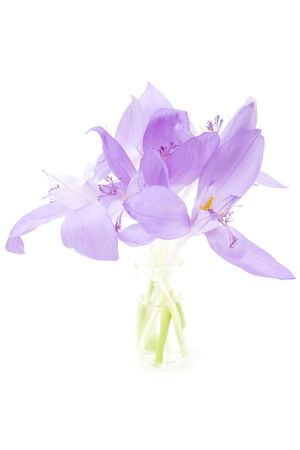 Crocus flowers isolated on white photo