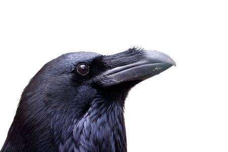corbeau: Common Raven portrait isol� sur blanc