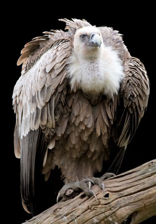 Portrait of a Griffon isolated on white. Stock Photo - 3925291