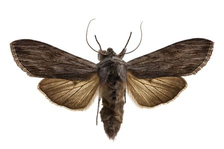 Shark Moth isolated on white.