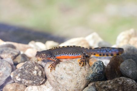 Alpine newt swimming in the water.