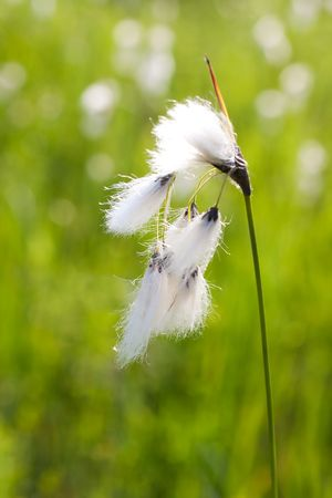 marsh plant: Cottongrass field in the spring.
