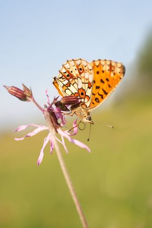 bordered: Pearl bordered Fritillary sitting on a flower