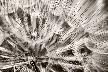 Macro details of dandelion in black and white photo