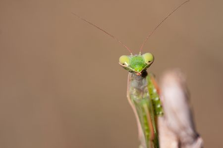Portrait of a Mantis religiosa on a straw photo