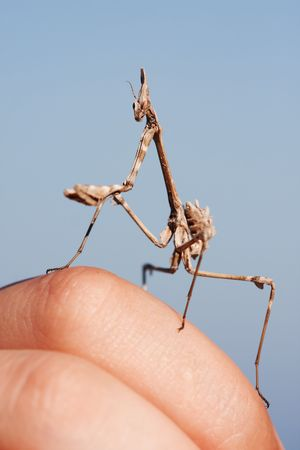Portrait of a praying mantis. photo