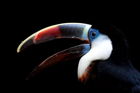 White-throated Toucan portrait isolated over black background photo