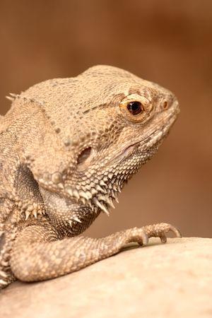 bearded dragon lizard: Portrait of a Bearded Dragon lizard sitting on a rock at the zoo