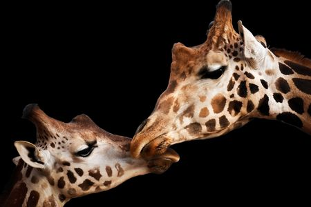 Portrait of a two giraffes touching heads isolated on black