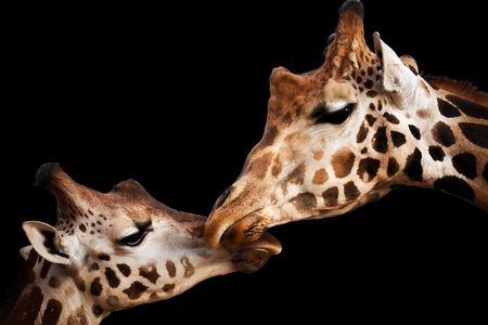 Porträt von einem zwei Giraffen berühren Köpfe, die isoliert auf schwarz