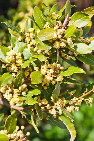 Branch of bay laurel in bloom in spring.