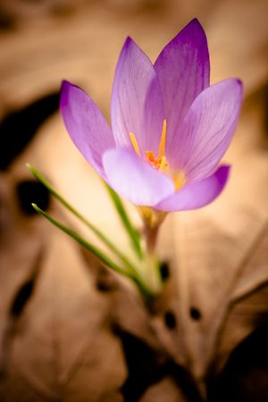 Delicate crocus emerging through the yellow leaves Stock Photo - 7103908