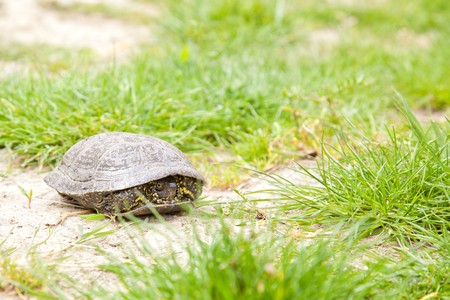emys: European pond terrapin hiding in its shell Stock Photo