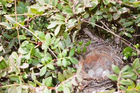Nest with eggs of a Linnet hidden between branches photo