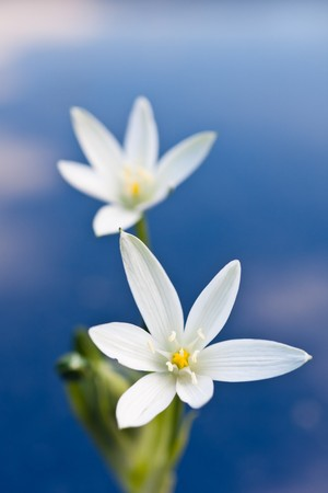 ornithogalum: Beautiful macro of Ornithogalum against a blue background