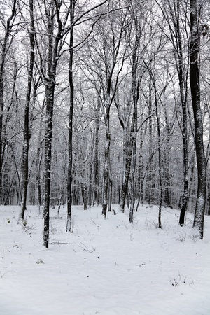 wintry landscape: Beautiful winter landscape in the forest, vertical, black and white.