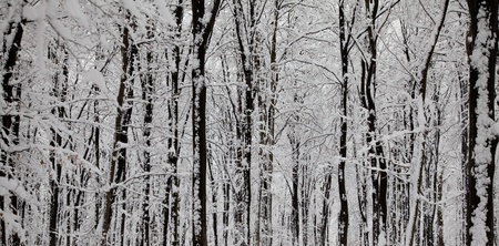 Panoramic view of tree trunks covered with snow in winter. photo
