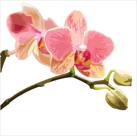 flowers close up: Vector illustration of a Phalaenopsis orchid on white background. Illustration