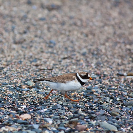 breading: Ringed plover feeling threatened by the presence of humans during breading season. Photographed on Irelands Eye Island, Ireland.