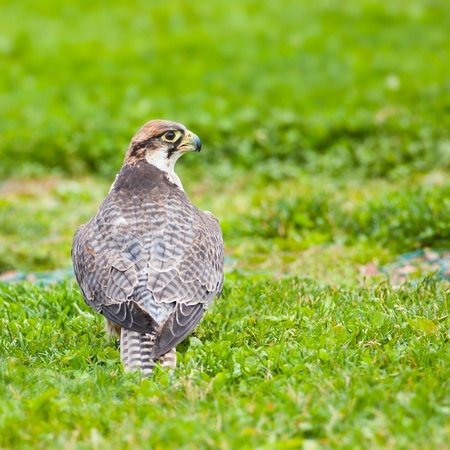 lanner: Lanner falcon sitting on grass. Photo taken at Ailwee Cave, Birds of Prey sanctuary, Ireland. Stock Photo