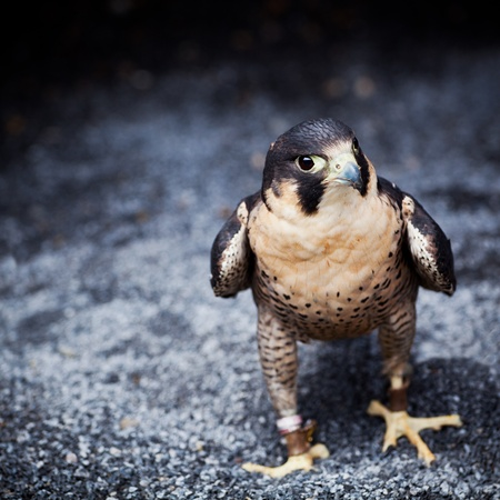 falconidae: Falco peregrinus one the ground at Ailwee, Birds of Prey center, county Clare, Ireland. Stock Photo
