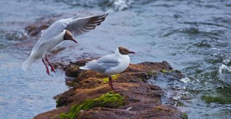 Black-headed Gull (Chroicocephalus ridibundus) sitting on a rock in the river. photo