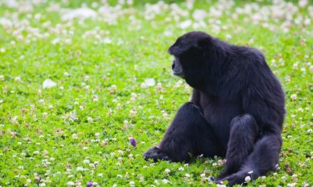 siamang: Siamang gibbon sitting on grass at Dublin zoo.