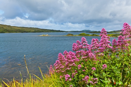 Red valerian flowers on the coast of Ardmore Bay, county Galway Ireland. photo