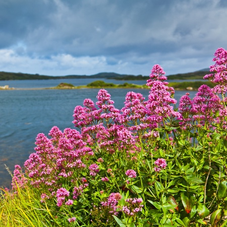 Red Baldrian Blumen an der Küste von Ardmore Bay, County Galway, Irland.