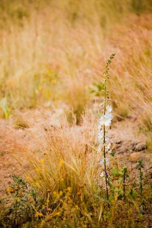 hollyhocks: Single Hollyhocks (Alcea) on a meadow in springtime.