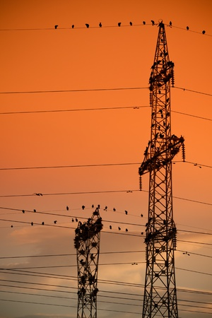 sihlouette: Sihlouttes of an unusual cormorant colony on electricity poles.