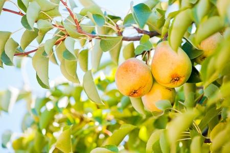 Ripe pears in the tree in summer season. photo
