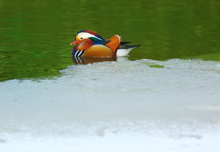 Aix galericulata (Mandarin duck) swimming in the waters of a frozen lake in winter. Stock Photo - 11971778