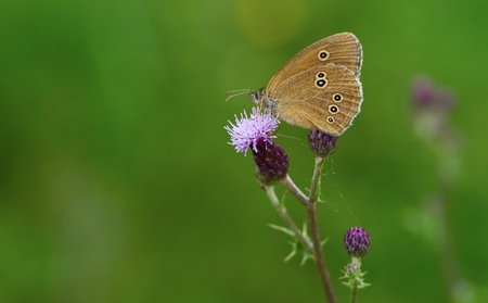 aphantopus: Ringlet (Aphantopus hyperantus) in summertime against a green background.