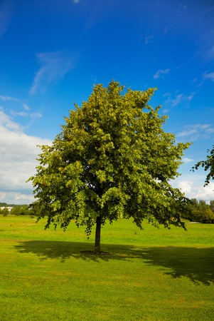 basswood: Beautiful young lime tree  tilia  over blue sky on a field and his shadow