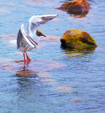 ridibundus: Black-headed Gull  Chroicocephalus ridibundus  sitting on a rock in the river  Stock Photo