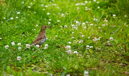 turdidae: Song Thrush (Turdus philomelos) with a worm in the mouth between grass and flowers. Stock Photo