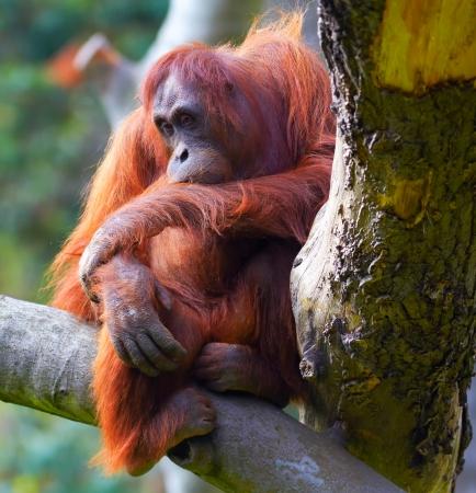 extant: Female of Bornean Orangutan sitting on a branch at Dublin Zoo.