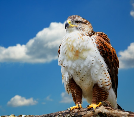 Close up of Buteo regalis against the blue sky. Photo taken at Ailwee, Birds of Prey center, Ireland. photo