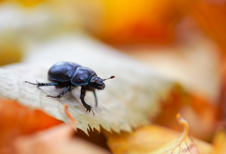 Anoplotrupes stercorosus looking for shelter through the autumn leaves.