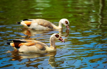Pair of Egyptian Goose  Alopochen aegyptiacus  on a small lake in summer  photo