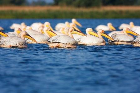 Great White Pelicans  Pelecanus onocrotalus  on a lake in Danube Delta during migration season, Romania  photo