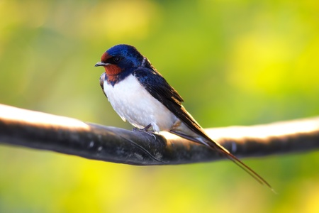 Barn Swallow sitting on a white in summertime.