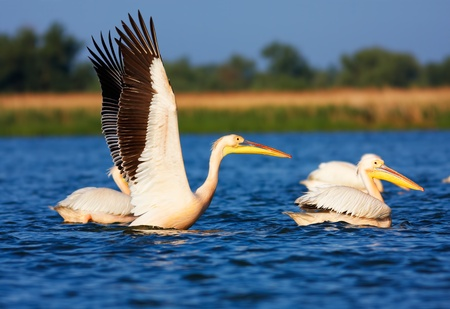 Great White Pelicans (Pelecanus onocrotalus) on a lake in Danube Delta during migration season, Romania. Stock Photo - 12953919